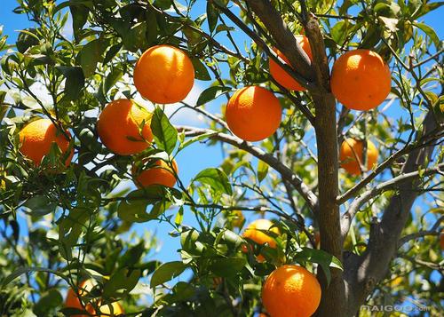 平伟农业——果树认养