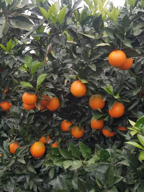 邻水县柳丰脐橙果树基地(毛家)