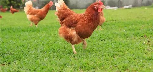 后山散养土鸡1