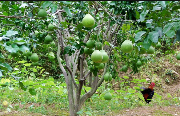 凡小鲜家庭农场柚子认养
