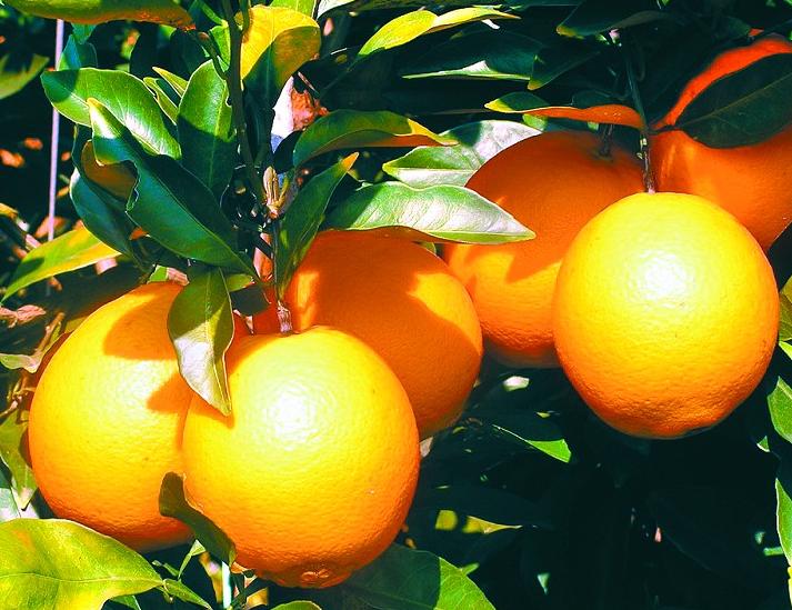 柳丰脐橙基地果树认养(大地坪1)