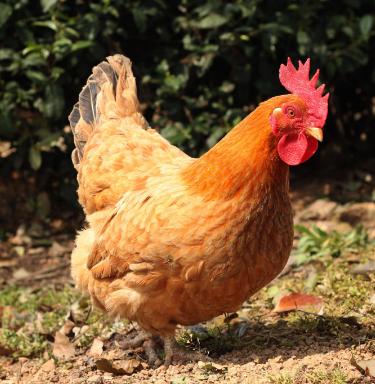 敦雄家庭农场肉鸡认养