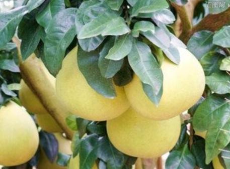 金沙溪水果种植合作社红心柚认养