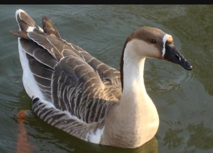 八庙种养殖场生态鹅认养