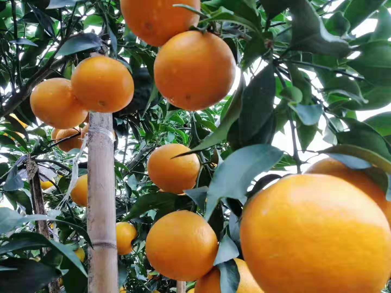 仁寿县桔龙缘家庭农场果树认养4区