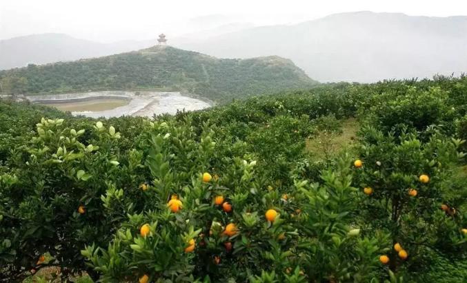 邻水县柳丰脐橙基地