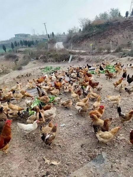 果园散养土鸡 土鸡蛋认养