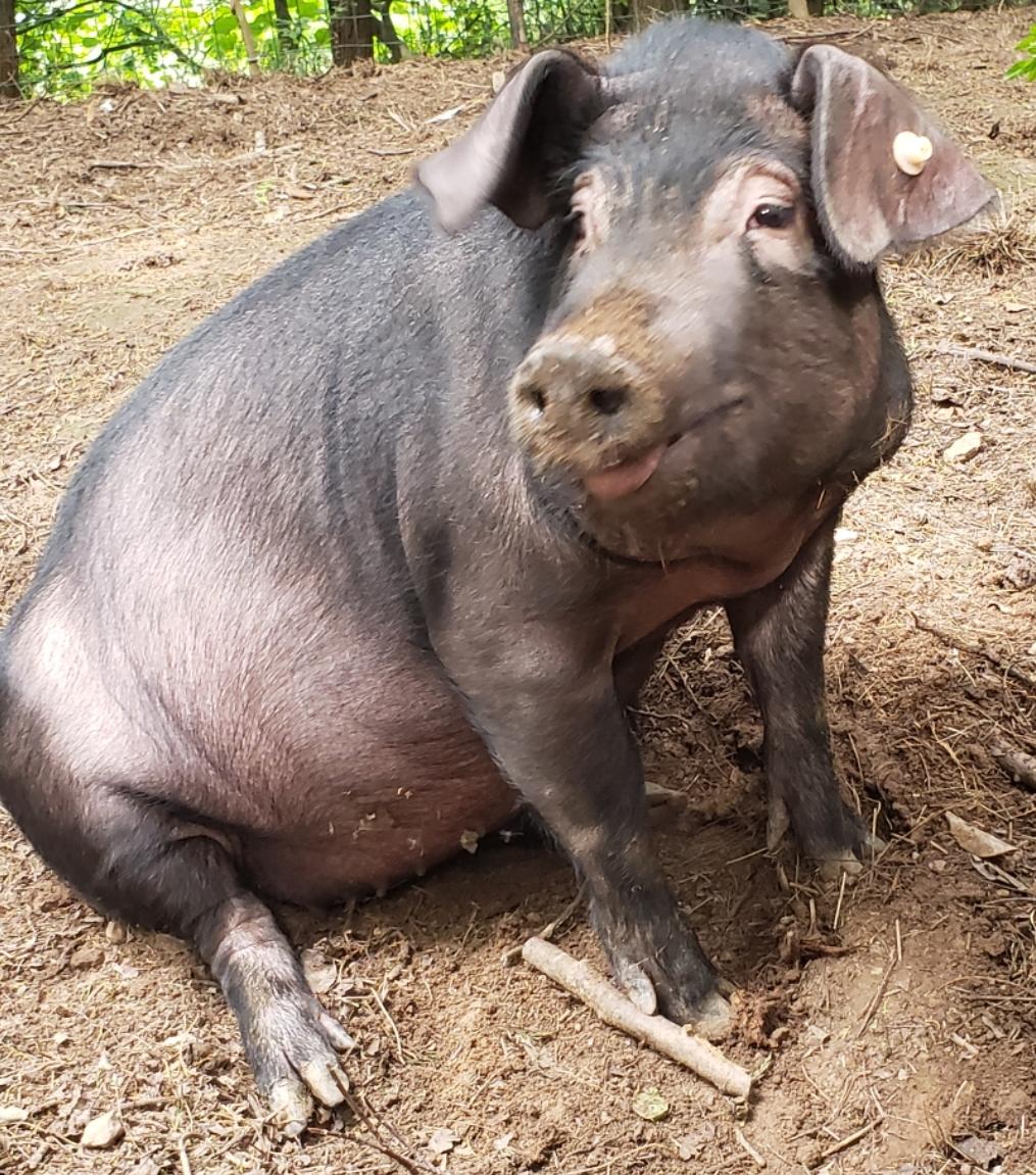 跑山猪第二散养区
