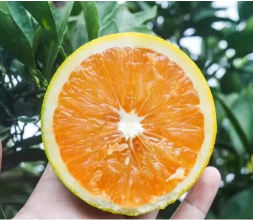 柳丰脐橙基地果树认养(过水丘)