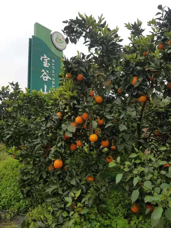 邻水柳丰脐橙果树认养