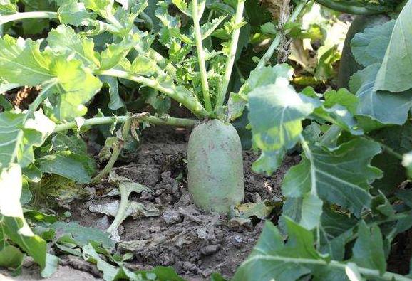 白萝卜菜园认养全生态种植