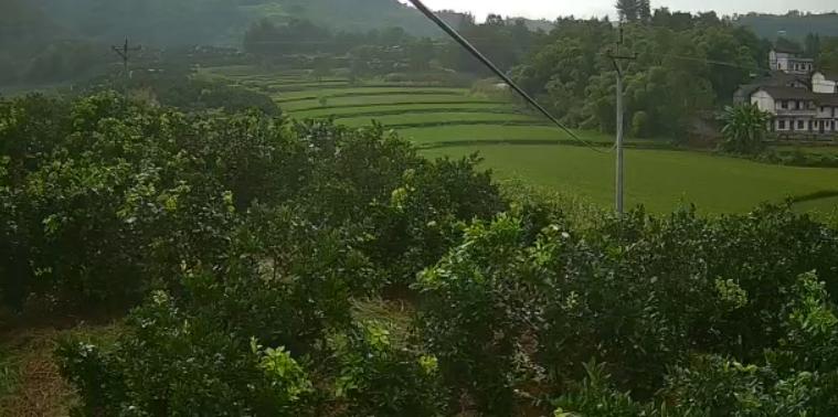 脐橙果树认养(干银山)