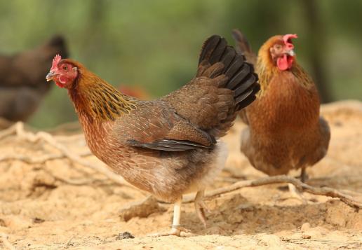 花木山村家庭农场土鸡认养