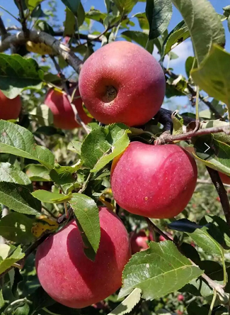 四川大凉山盐源丑苹果