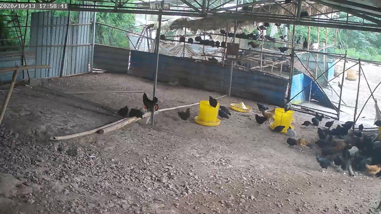 黑牡丹鸡认养区4