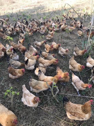 宝马河家庭农场土鸡(母鸡)认养