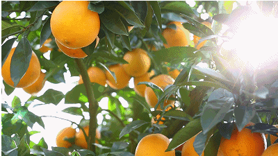 柳丰脐橙基地果树认养(甘银山)