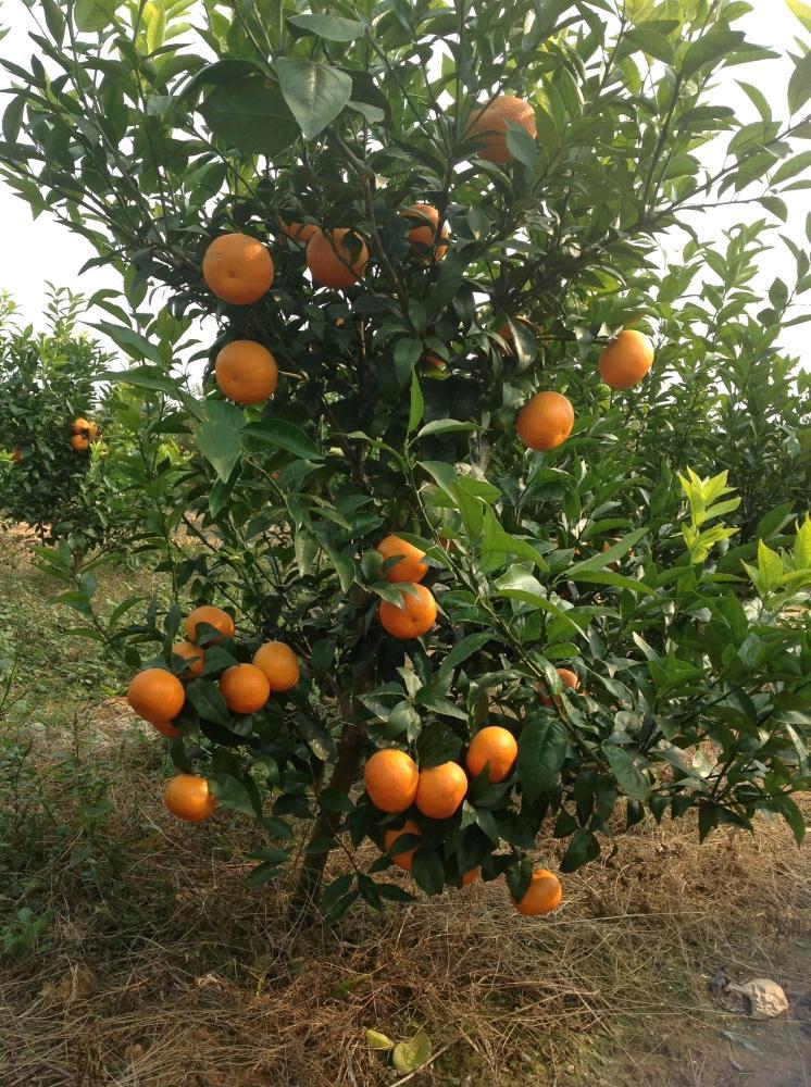 朋强家庭农场柑橘认养