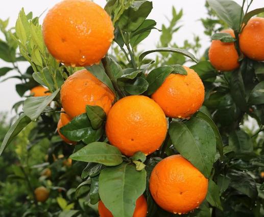 金沙溪水果种植合作社沃柑认养