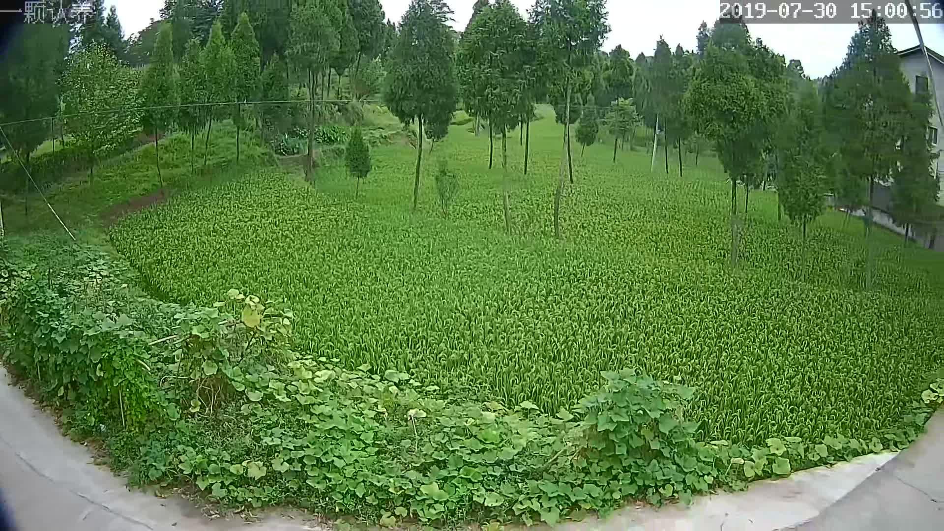 广桑源有机稻种植区