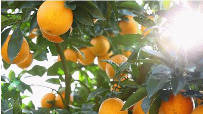 柳丰脐橙基地果树认养(圆门湾2)