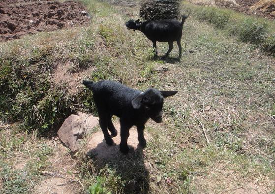旧院镇山羊认养区