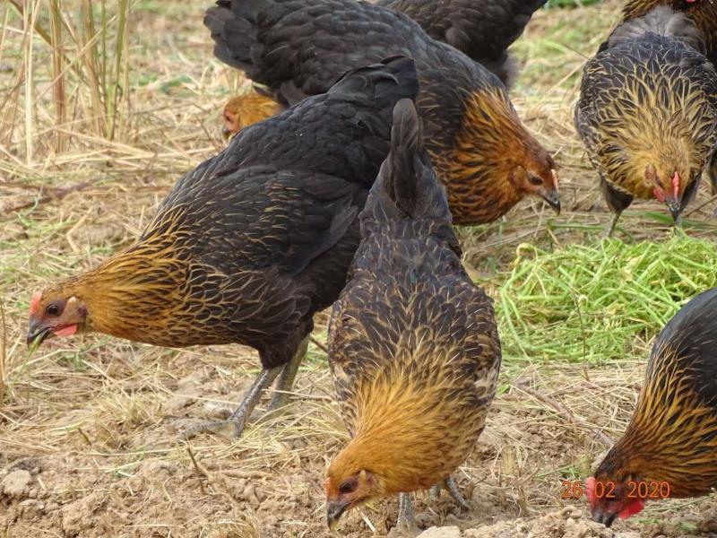 蓬溪悦友农场中药养生鸡认养区