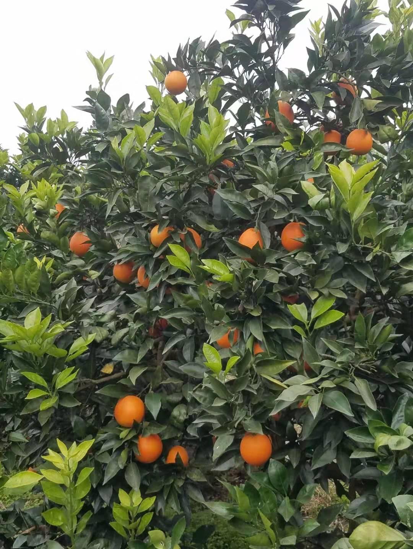 柳丰脐橙基地认养