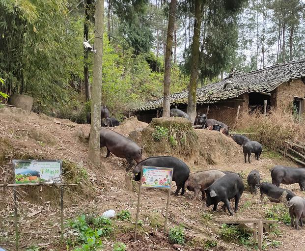 CCTV7致富经走进一颗认养合作农场—仪陇鲜态农业野猪养殖基地