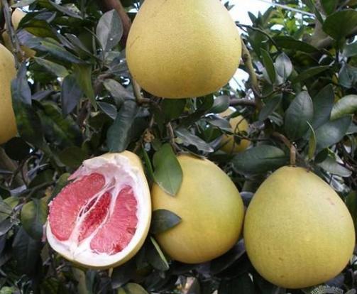 金沙溪种植合作社红心柚认养