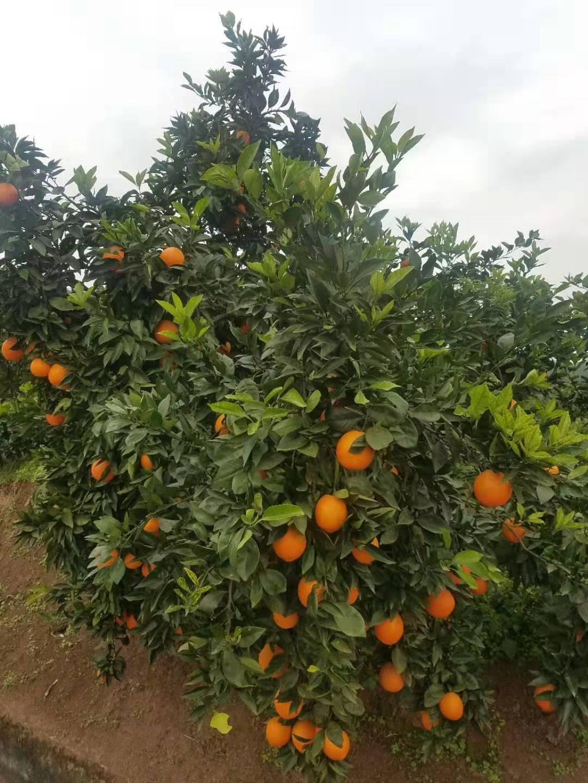 柳丰脐橙基地果树认养(圆门湾)