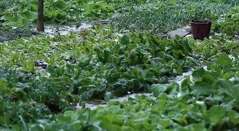 嘉陵区生态菜园菠菜认养