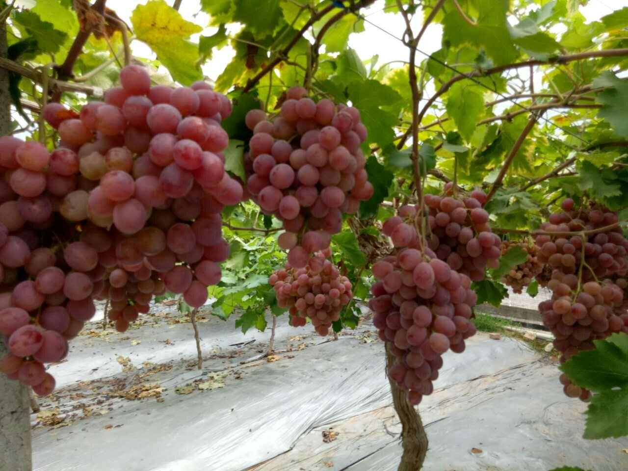 凤祥葡萄种植认养