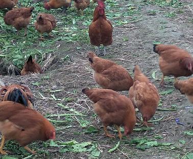 百果香农业桑葚鸡认养