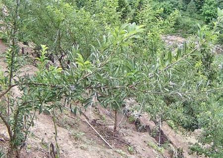 观音岩生态种养殖场清脆李