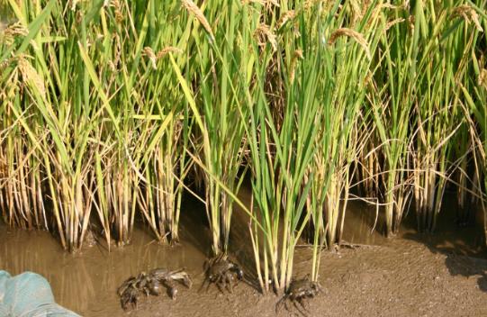 恒乐生态水稻(蛙、鱼虾共养)