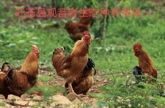观音岩生态种养殖场红冠土鸡认养