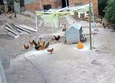散养土鸡散养二区