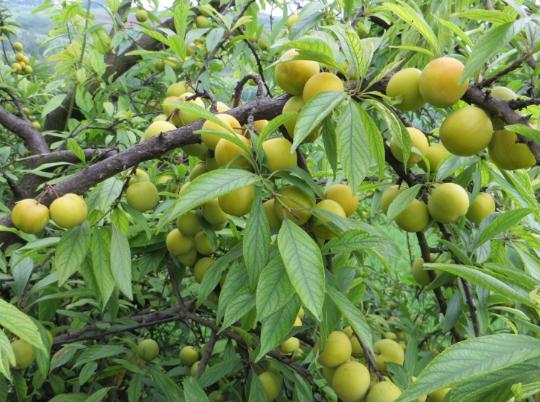 金沙溪水果种植合作社李子树认养
