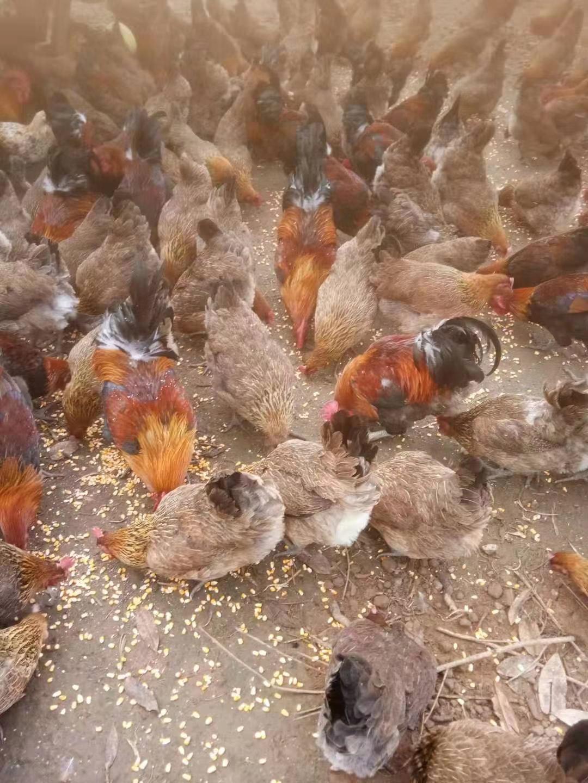 南部县凡小鲜家庭农场土鸡认养