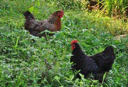 生态土鸡放养直播自然生长