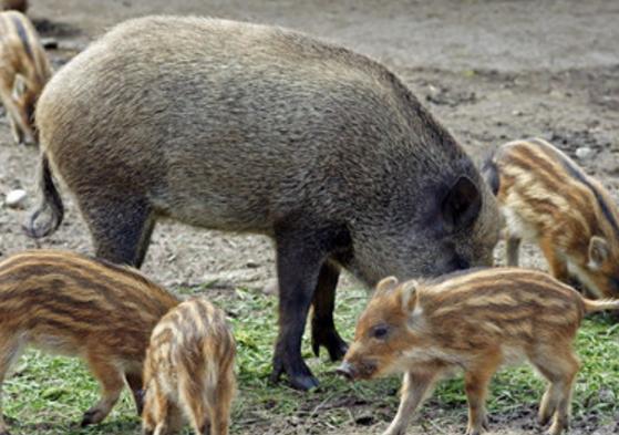 鲜态农业野猪散养直播认养