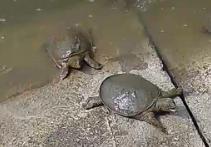 弘恩家庭农场甲鱼认养区