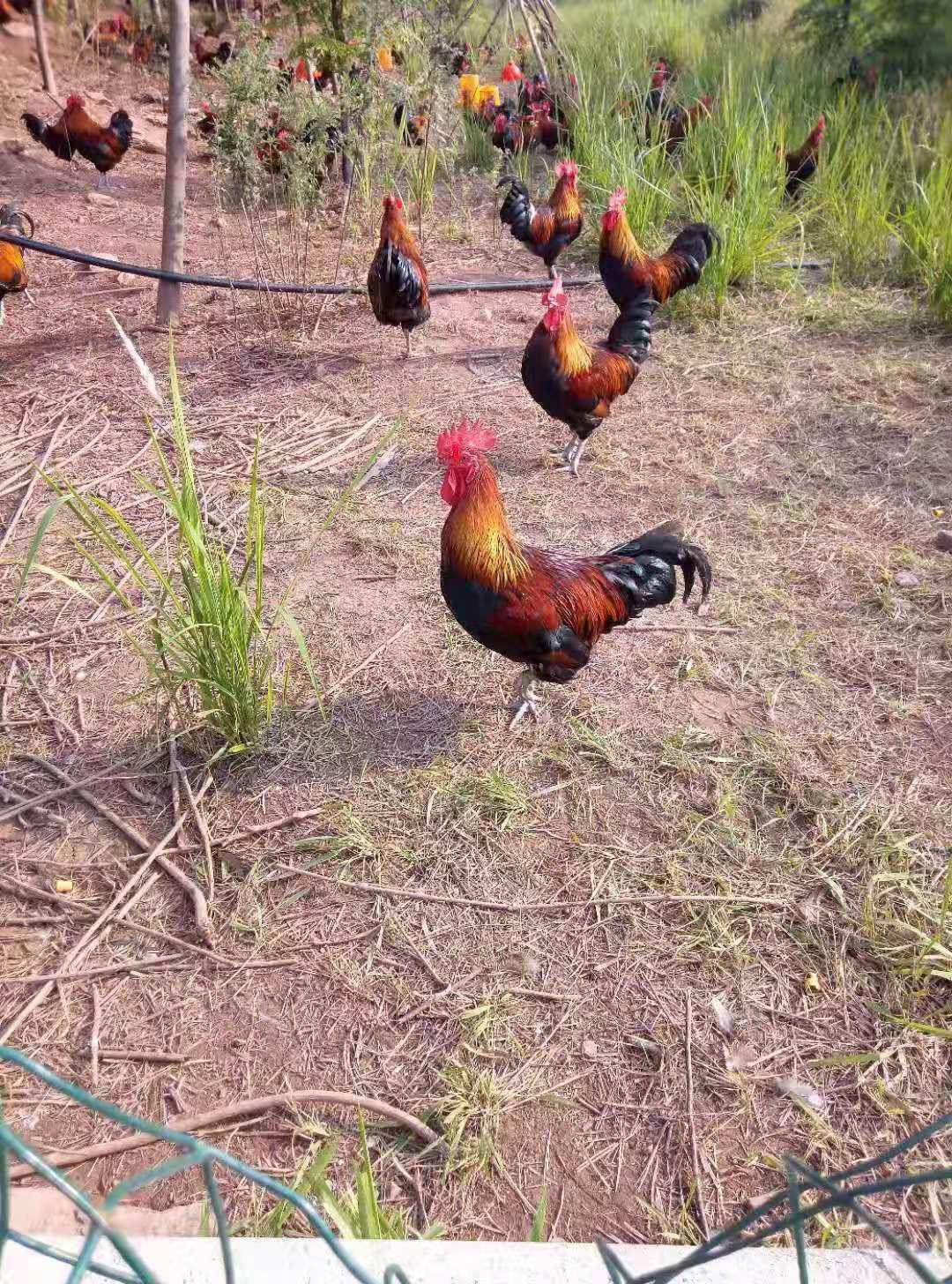 祥和家庭农场南丹瑶鸡认养