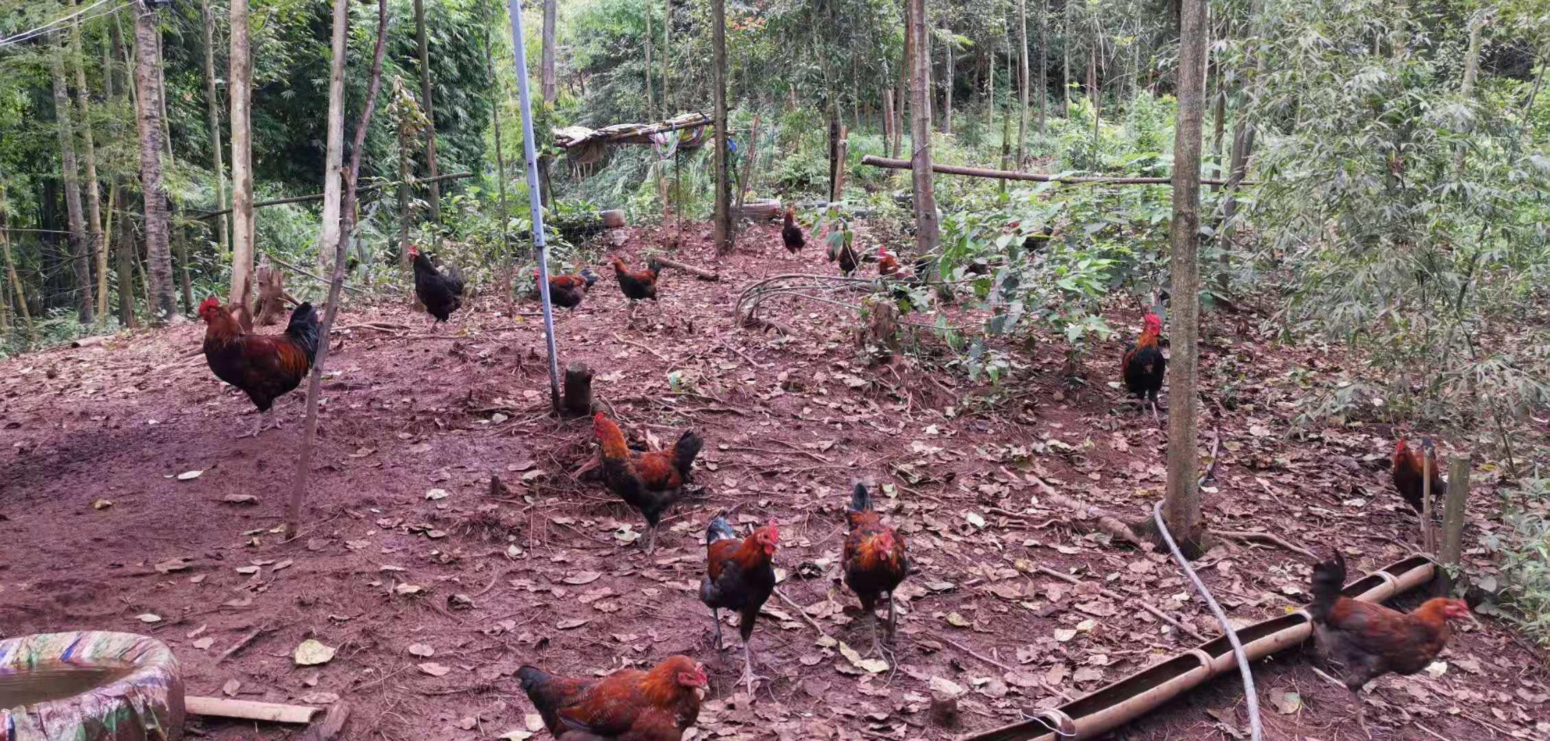 轩然家庭农场生态土鸡认养