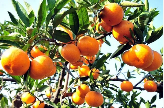欣乐家庭农场大雅柑橘认养
