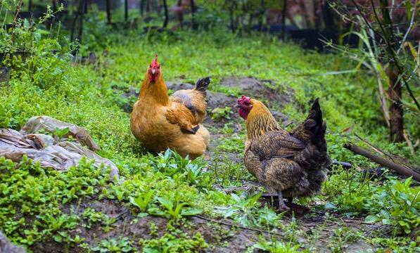 乡下放养土鸡认养