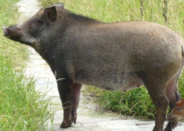 仪陇县鲜态农业野猪认养