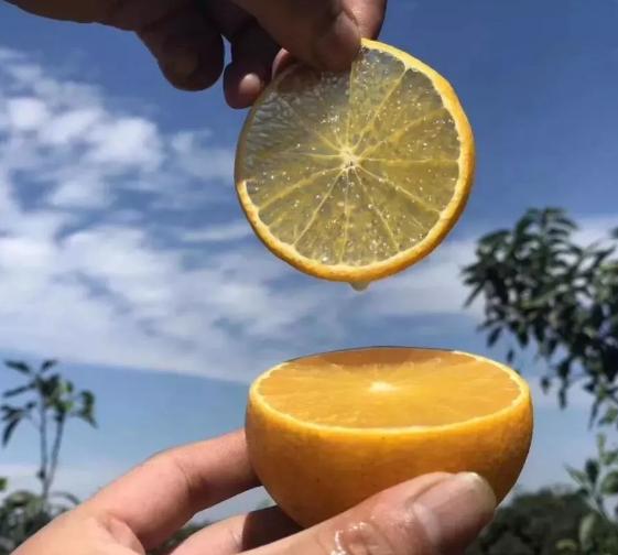 柳丰脐橙基地果树认养(学堂湾)