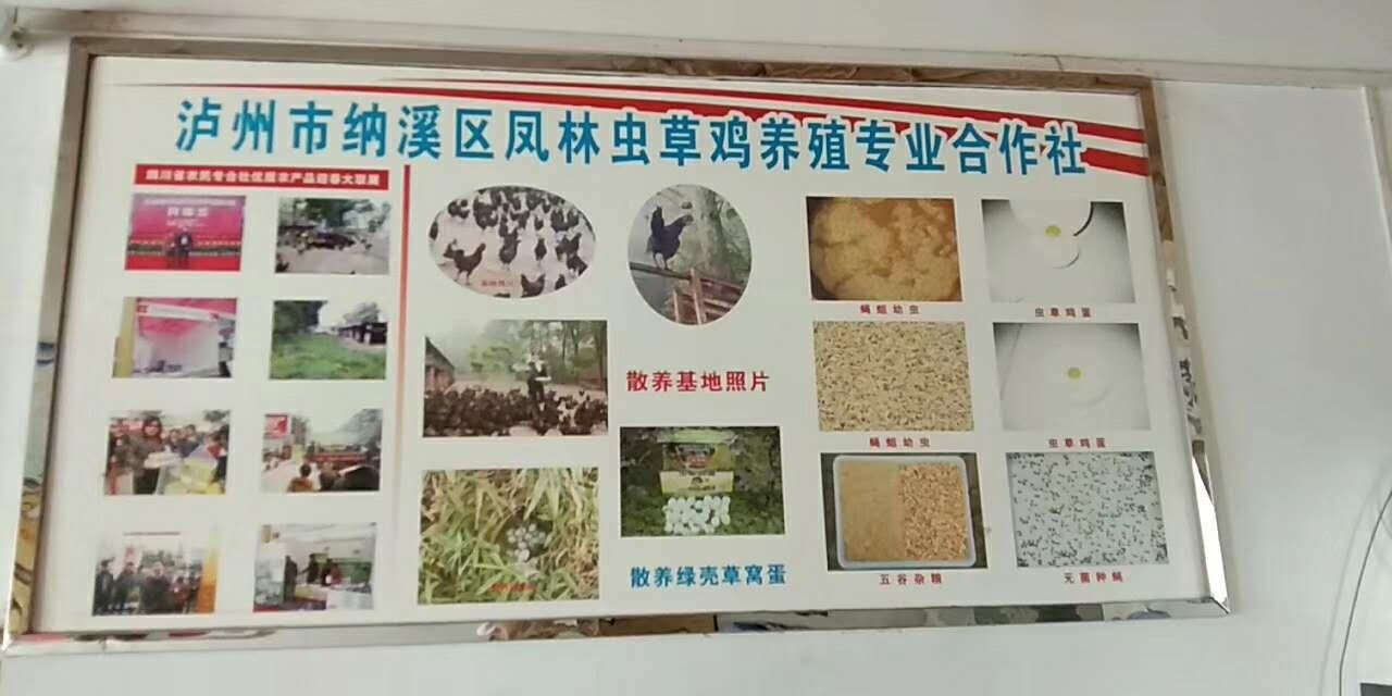 泸州纳溪区虫草鸡协会直播